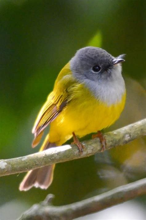17 best ideas about yellow birds on pinterest beautiful