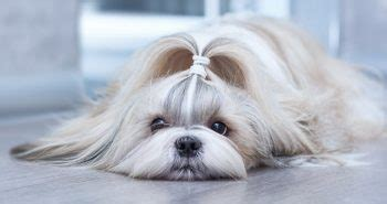 shih tzu brush 11 dogs that look like wolves the best wolf breeds