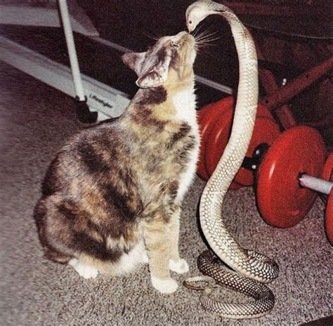 cat versus this is cat vs snake thinglink