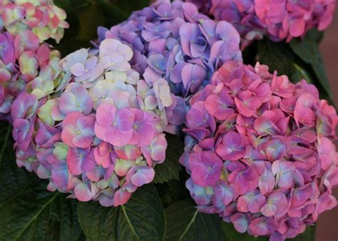 chagne pink color how to change hydrangea flower color hgtv