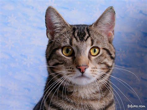 shorthair cat american shorthair wallpapers hd