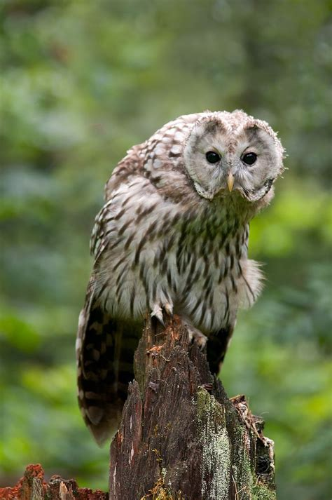 95 Best Owl Images On Animal - 1543 best rapaci rapacious birds images on