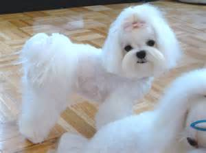 different maltese haircuts pictures japanese dog grooming styles google search maltese