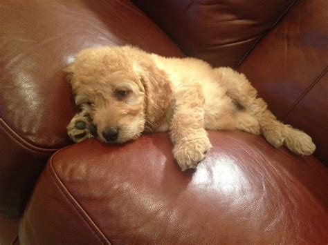 goldendoodle puppy names 17 best images about oodles of on poodles
