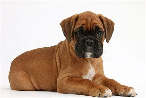 boxer puppies ta raza de perros boxer el eterno cachorro cuidados alimentaci 243 n fotos