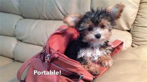 yorkie vs morkie tiny morkie maltese yorkie pups for sale in florida michelines pups funnydog tv