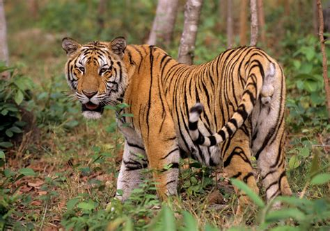 Indochinese Tiger | The Life of Animals