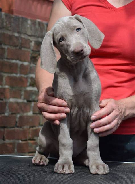 pictures of weimaraner puppies best 25 weimaraner ideas on blue weimaraner