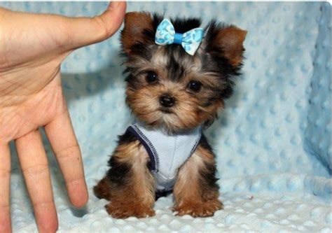 miniature yorkie grown grown yorkies breeds picture