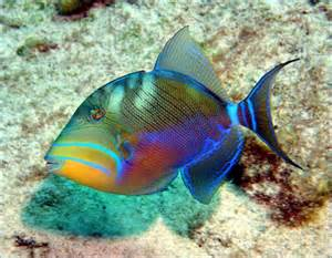 fish colors tiggerfish balistes vetula tropical fish