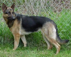 types of german shepherds different types different types german shepherd breeds