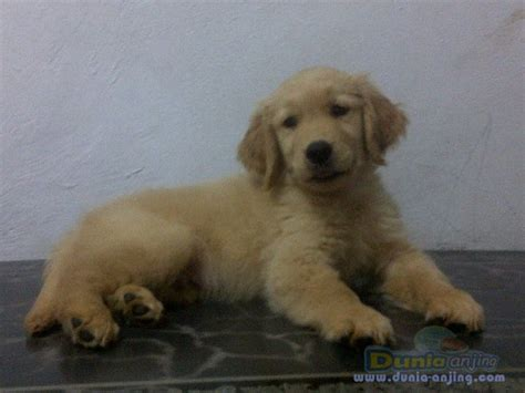 golden retriever big bone dunia anjing jual anjing golden retriever golden retriever puppies bloodline