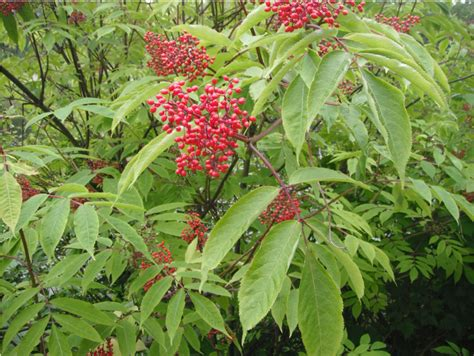 deciduous shrubs vines native plants pnw