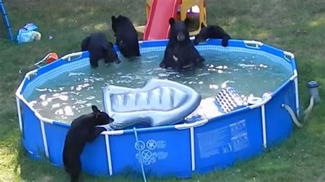 and five cubs frolic in new jersey family s pool