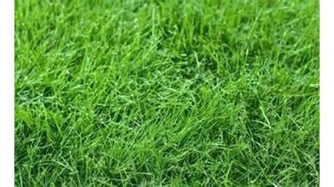 difference between bermuda grass and fescue grass youtube