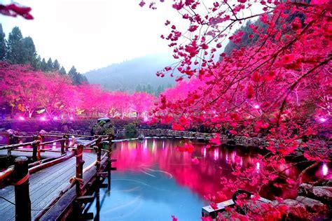 cherry blossom festival cherry blossoms festival japan shah nasir travel