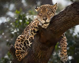 La Jaguars New Jaguar Habitat Opens At Los Angeles Zoo Theme Park