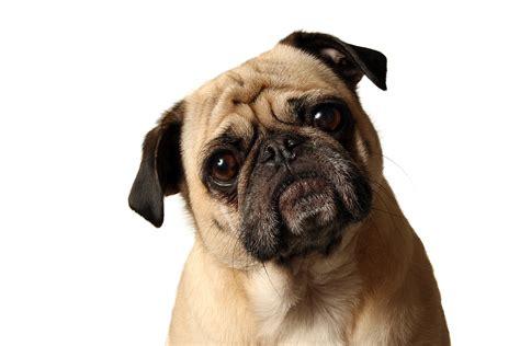 perros pug fotos de perros pug todosimple