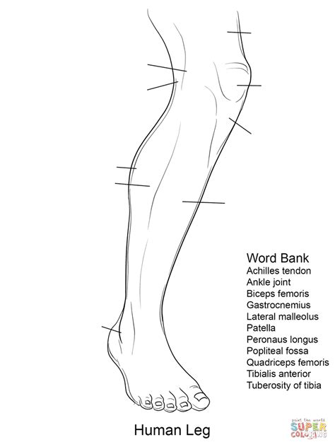 anatomy coloring book worksheets human leg anatomy worksheet coloring page free printable