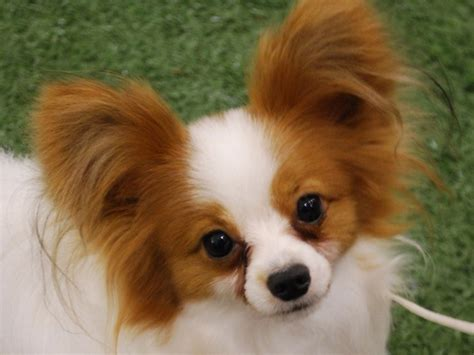 pictures of papillon puppies papillon puppy puppies