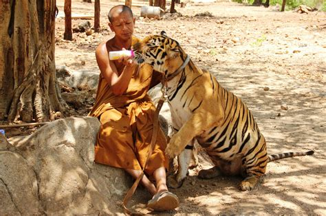Search Thailand Tiger Temple Thailand Driverlayer Search Engine