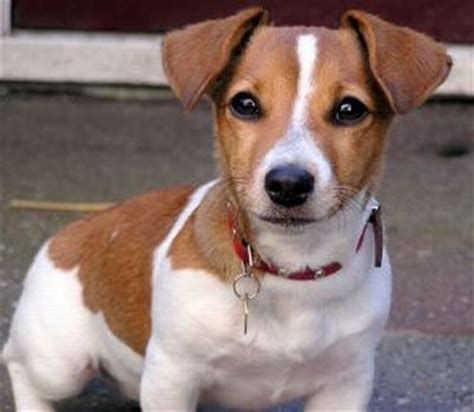 imagenes de un jack russell jack russell terrier razas de perros connect my dog blog