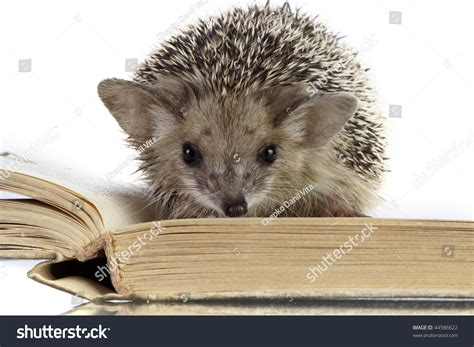 hedgehog picture book hedgehog on book stock photo 44586622
