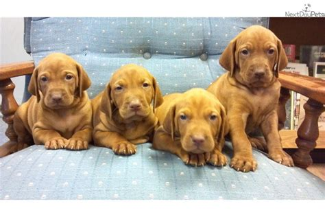 vizsla puppies iowa vizsla puppy for sale near des moines iowa cdfa65a7 6ca1