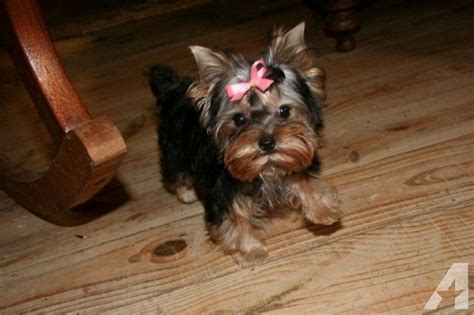 teacup yorkie indiana teacup yorkie puppies for sale in indiana zoe fans baby animals