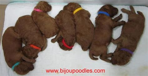 how to keep newborn puppies warm the 36 hours of your puppy s are the most critical for its survival