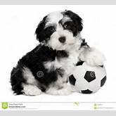 Royalty Free Stock Photography: Cute havanese puppy dog with a soccer ...
