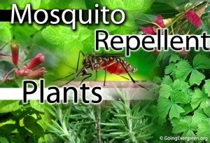 top 10 plants that act as natural mosquito repellent