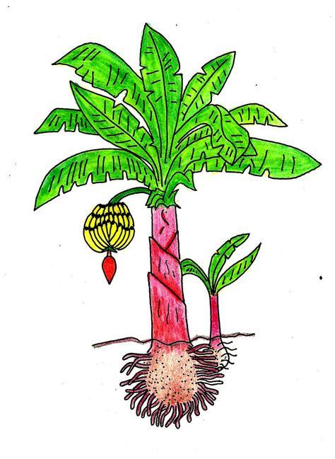 desenho de plantas desenhos de plantas desenho da planta de bananeira