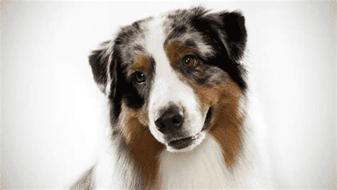 australian shepherd pet insurance compare plans