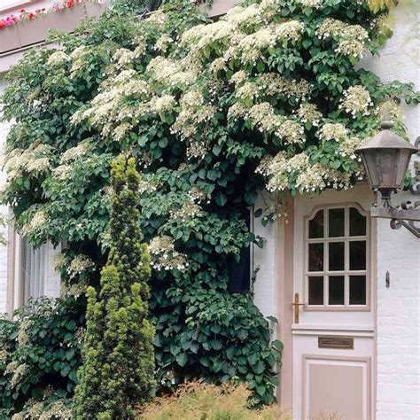 Wall Climbing Plants For Your Garden 37 Best Images About Sweet Sue West Garage Wall Ideas On