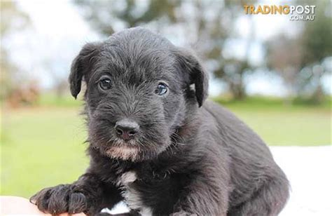 schnauzer doodle puppies for sale schnoodle poodle x schnauzer puppies for sale in hoppers