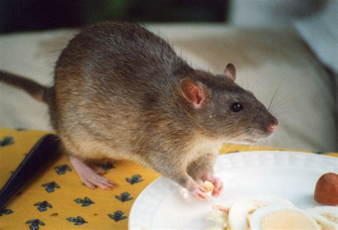 file rat agouti jpg wikipedia