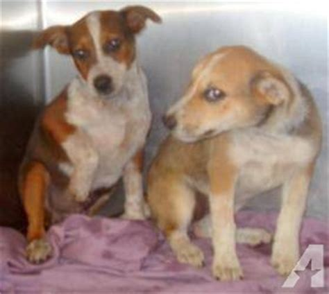 animal shelter puppies for sale new baby puppies arriving at loudon county animal shelter for sale in loudon