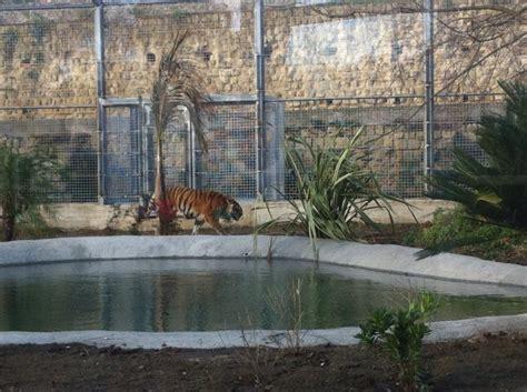 giardino zoologico napoli zoo di napoli le tigri lasciano le gabbie per l exhibit