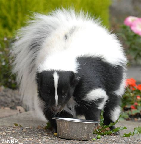 skunk shoo for dogs the pet skunk who likes to be taken out on walks through suburbia daily mail