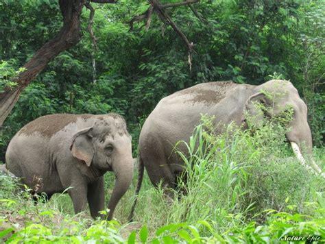 african elephant facts african elephant facts diet soda avenue