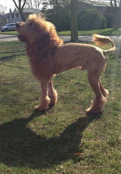 dogs that look like lions this looks like a pics
