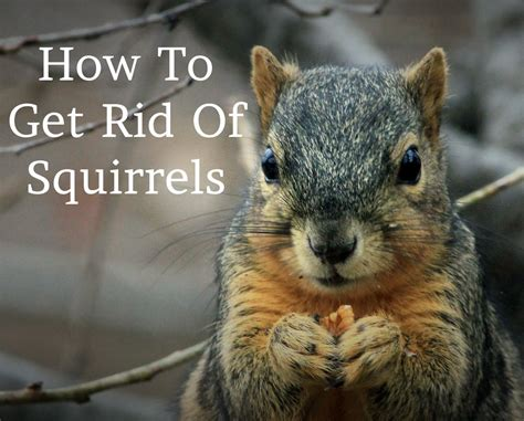 how to get rid of squirrels in the backyard how to get rid of squirrels in michigan tips