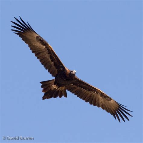 tattoo wedge tail eagle the 25 best wedge tailed eagle ideas on pinterest eagle