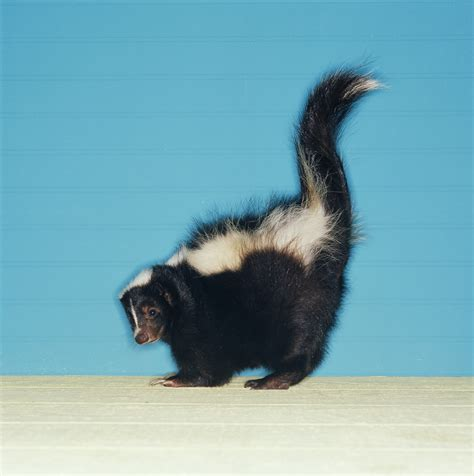 skunk smell in the house a skunk and its smell or skunks and their smell agreement again 171 grammar glitch