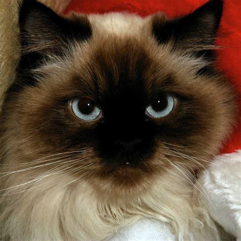 The Himalayan Cat   Cat Breeds Encyclopedia
