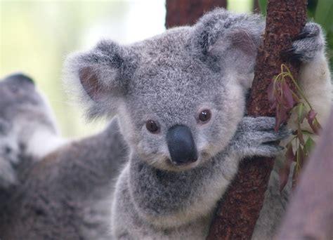 Metto Koala animali i koala abbracciano gli alberi per stare freschi
