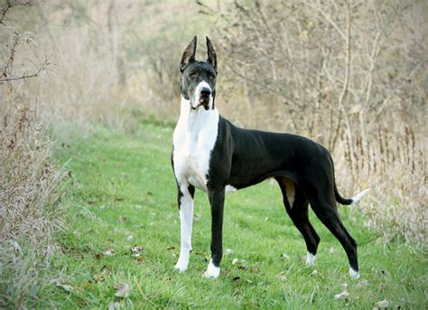 great dane dogs the dogs in the world dogvacay official