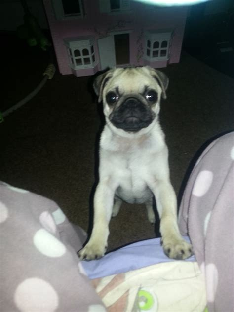 pugs for sale dorset pug puppy for sale bournemouth dorset pets4homes
