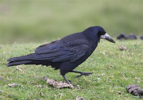 file corvus frugilegus dartmoor devon england 8 jpg